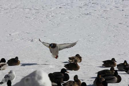 drake: Mallard duck (Drake  flying in for a landing over a frozen pond.