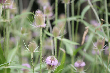 nuisance: Summer bloom of Teasel, Teazel (Dipsacus fullonum). The members of this genus are known as teasel or teazel or teazle. Ring of purple pollen anthers growing around the middle of the head.
