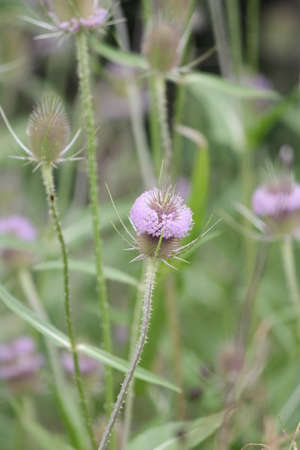 anthers: Summer bloom of Teasel, Teazel (Dipsacus fullonum). The members of this genus are known as teasel or teazel or teazle. Ring of purple pollen anthers growing around the middle of the head.