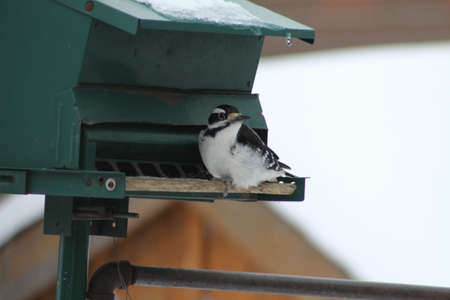 hairy male: Male Hairy Woodpecker (Picoides villosus) on a bird feeder
