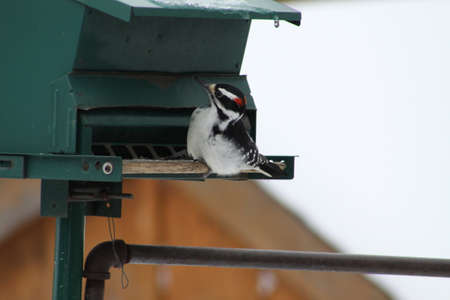 bird feeder: Male Hairy Woodpecker (Picoides villosus) on a bird feeder