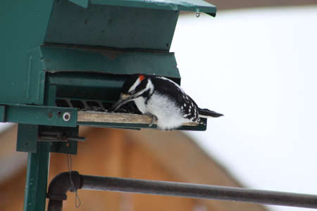 hairy male: Male Hairy Woodpecker (Picoides villosus) on a bird feeder eating seeds