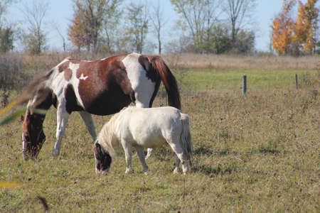 small field: Horses grazing on dry grass at the end of summer in a small field. Stock Photo