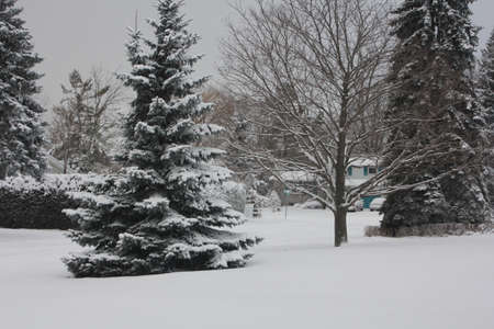boughs: Fresh snow clinging the boughs of fir trees and ground in a residential area Stock Photo