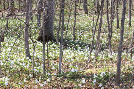 Pretty White Trilliums grandiflorum covering the forest floor near the edge of a tree filled forest in SE Ontario. Provincial flower of Ontario