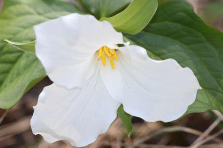 trillium: Pretty White Trilliums grandiflorum near the edge of a tree filled forest in SE Ontario. Provincial flower of Ontario Stock Photo