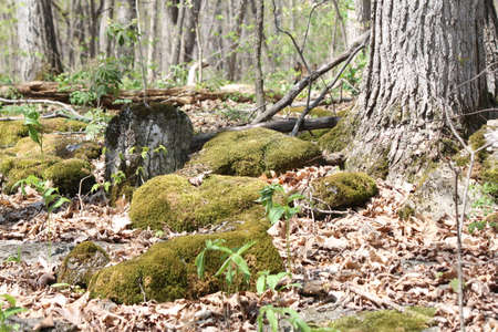 velvety: Velvety Moss covering large rocks in a shaded area of a tree filled forest.