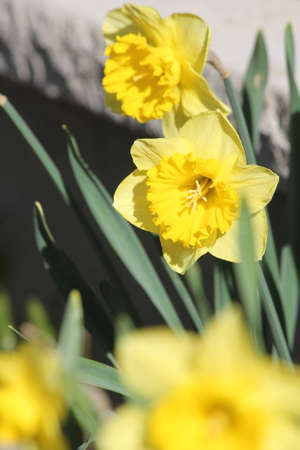 Bright yellow daffodil growing in a small garden in the early spring