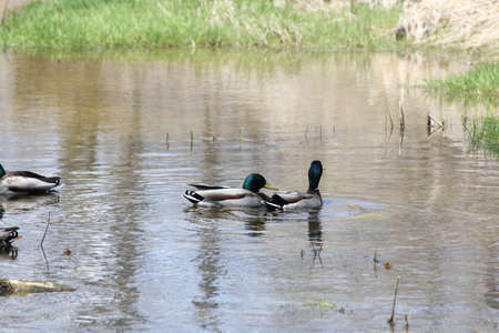 grouping: A small grouping of male Mallard ducks in a calm area of a small stream.