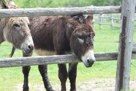 A pair of donkeys looking out from between wooden rails at small enclosed corral.