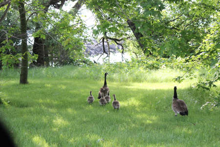 Canada Geese and Goslings in high grassbeside a main roasdway  heading towards a large body of water.