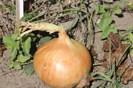 attributable: A sweet onion is a variety of onion that is not pungent. Their mildness is attributable to their low sulfur content and high water content when compared to other onion varieties.