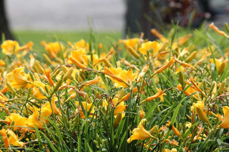 vigorous: Pretty yellow Daylily Stella de Oro Hemerocallis  growing in a small flower garden. Day lilies are rugged, adaptable, vigorous perennials and comes in a variety of colors. Stock Photo