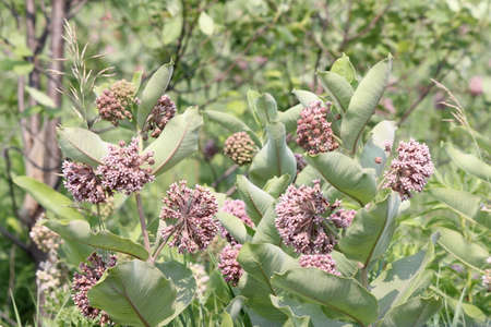 droop: Common Milkweed plant with blooming flowers that are pinkish-purple clusters which often droop, Milkweed flowers usually bloom from June to August,