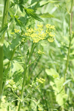 Yellow head and seeds of a Wild Parsnip weed in poisonous stage growing in a conservation area in Ontario. During much of July, August and early September wild parsnip is one of the most visible yellow-flowered weeds in roadside ditches, public recreation