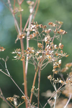 Autumn season. Dried up and gone to seed. Wild Parsnip weed is a public health hazard. Wild Parsnip is native to regions of Europe and West Asia. It has invaded parts of North America