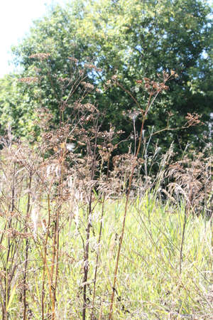 invaded: Autumn season. Dried up and gone to seed. Wild Parsnip weed is a public health hazard. Wild Parsnip is native to regions of Europe and West Asia. It has invaded parts of North America