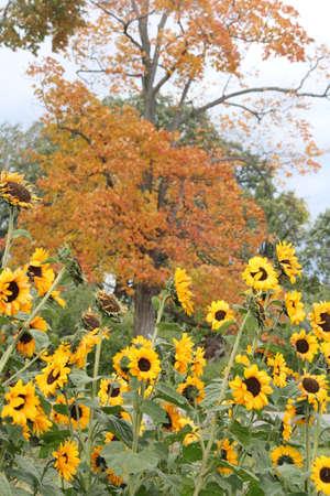 패치에서 많은, 예쁜, 작은 해바라기. 기형이없는 성장은 가을의 나무 앞에서 주로 톰 (Tom)으로 짧은 성장 시즌으로 인해 발생합니다.