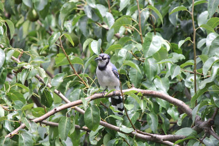 bluejay: Blue Jay Cyanocitta cristata perched on a branch of an old pear tree. Stock Photo