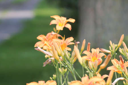 perennials: Orange day lily Hemerocallis beside an old country road. Day lilies are rugged, adaptable, vigorous perennials and comes in a variety of colors Stock Photo