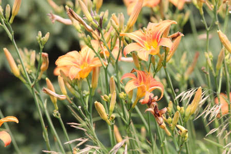 Orange day lily Hemerocallis beside an old country road. Day lilies are rugged, adaptable, vigorous perennials and comes in a variety of colors Stock Photo