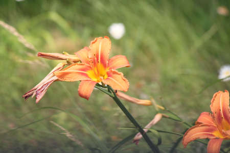 adaptable: Orange day lily Hemerocallis beside an old country road. Day lilies are rugged, adaptable, vigorous perennials and comes in a variety of colors Stock Photo