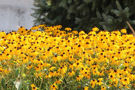eyeing: Thick blanket of a pretty yellow flower Black-Eyed Susan in a flower garden.