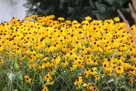 susan: Thick blanket of a pretty yellow flower Black-Eyed Susan in a flower garden.