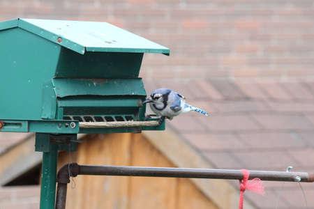 blue jay bird: Blue Jay Cyanocitta cristata on a backyard bird feeder.
