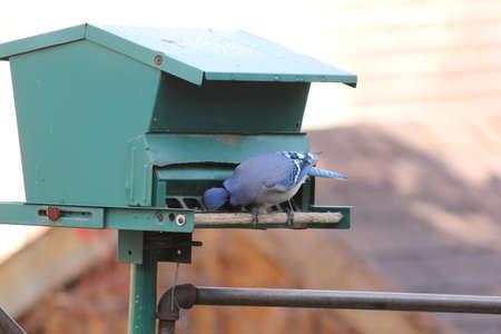birding: Blue Jay Cyanocitta cristata on a backyard bird feeder.