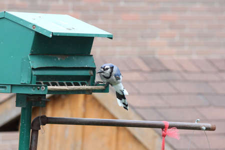 bluejay: Blue Jay Cyanocitta cristata on a backyard bird feeder.