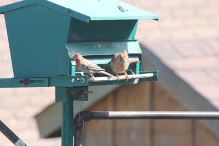 finch: Northern Cardinal female Cardinalis cardinalis and a male House Finch Carpodacus mexicanus on a backyard bird-feeder.