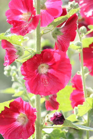 alcea: Hollyhock Alcea Deep Red Hollyhock growing on the edge of a flower garden. Foto de archivo