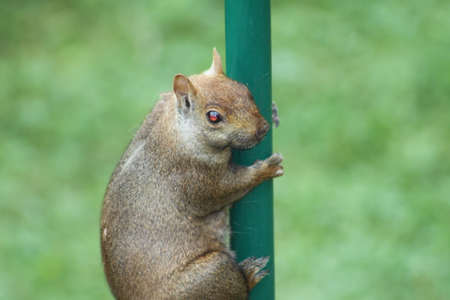 metal pole: Eastern Gray Squirrel Sciurus carolinensis climbing a metal pole. They can be many colors including gray, black, brown, blond and other mixtures. They are tree dwellers. Stock Photo