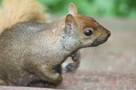 nuisance: Eastern Gray Squirrel Sciurus carolinensis. They can be many colors including gray, black, brown, blond, and other mixtures. They are tree dwellers.