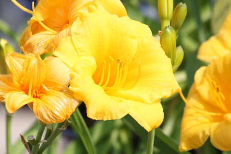 adaptable: Pretty yellow Daylily Stella de Oro Hemerocallis  growing in a small flower garden. Day lilies are rugged, adaptable, vigorous perennials and comes in a variety of colors. Stock Photo