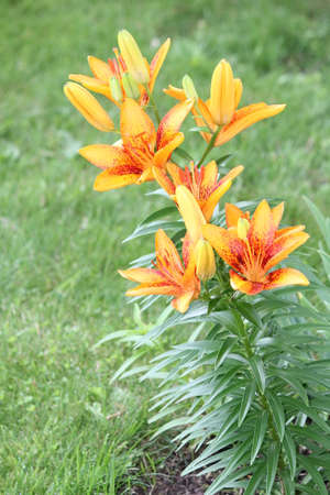 vigorous: Pretty yellowish orange  red lily, with red spots, growing in a small flower garden. A lily is a rugged, adaptable, vigorous perennials and comes in a variety of colors.