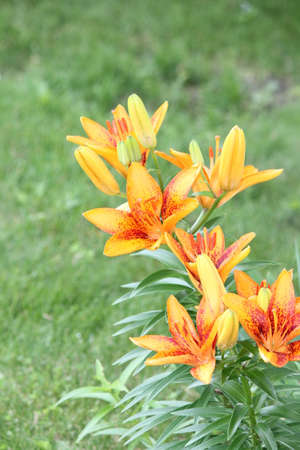 adaptable: Pretty yellowish orange  red lily, with red spots, growing in a small flower garden. A lily is a rugged, adaptable, vigorous perennials and comes in a variety of colors.