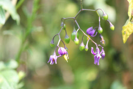 Purple with yellow flower of the Nightshade  Solanum dulcamara plant with purple and green berries,  growing in S.E. Ontario. Toxic to humans