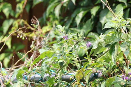 nightshade: Purple with yellow flower of the Nightshade  Solanum dulcamara plant   growing in S.E. Ontario. Toxic to humans