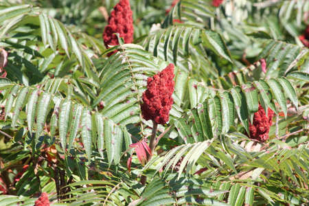 staghorn: Staghorn Sumac bush and red Bobs growing beside a country road. It is primarily found in the Northeastern and Midwestern United States, Southern  Eastern Ontario. It grows to 3-10 m tall and is considered a weed in some countries. Stock Photo