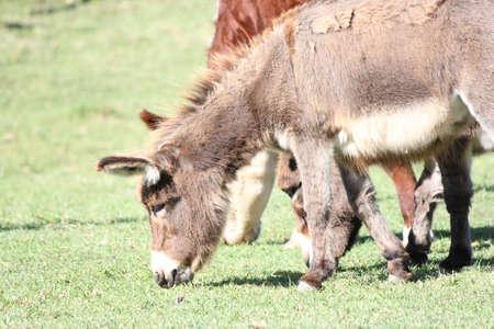 牛に囲まれた牧場でミニチュアのロバ。彼らは理想的な家畜ガードです。