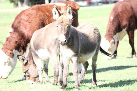 牛に囲まれたコラールのミニチュア ロバ。彼らは理想的な家畜ガードです。