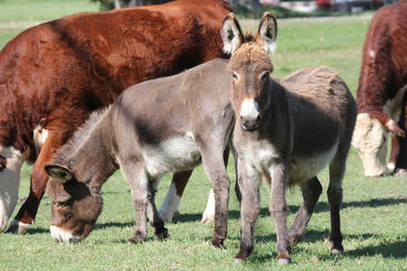 Miniature Donkeys in an enclosed corral with cows. They are ideal farm guard animals