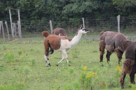 pack animal: Llama in a small hobby farm. The Llama is a domesticated South American camelid, was widely used as a meat and pack animal by Andean cultures