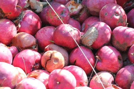 overripe: A pile of over-ripe apples left for wildlife at the side of a country road.