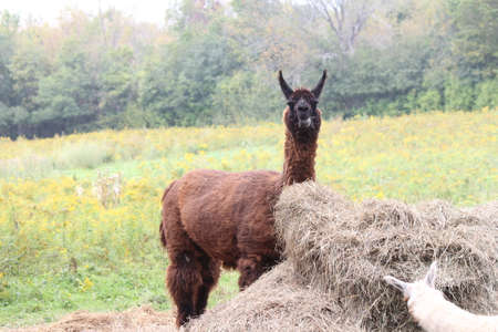 domesticated: Llama on a small hobby farm.  The Llama is a domesticated South American camelid, was widely used as a meat and pack animal by Andean cultures Stock Photo