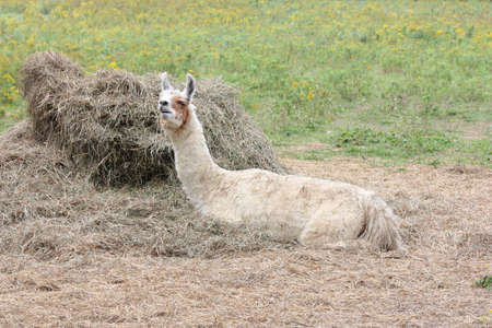 Llama on a small hobby farm, laying on straw.  The Llama is a domesticated South American camelid, was widely used as a meat and pack animal by Andean cultures