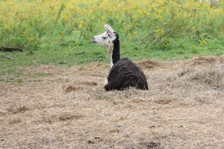 pack animal: Llama on a small hobby farm, laying on straw.  The Llama is a domesticated South American camelid, was widely used as a meat and pack animal by Andean cultures