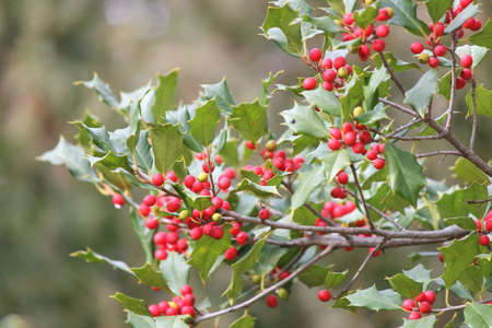 widely: The American holly, Ilex opaca is a species of holly, native to the eastern and south-central United States. This tree is considered both an evergreen tree and an ornamental tree. The American holly grows to a height of 4050. It is also widely known as t